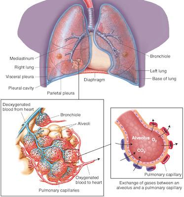 alveolus | Taber\'s Medical Dictionary