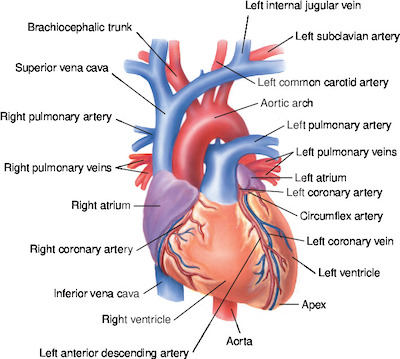 Heart Tabers Medical Dictionary