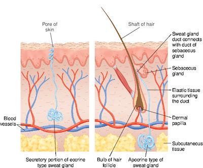eccrine and apocrine sweat glands